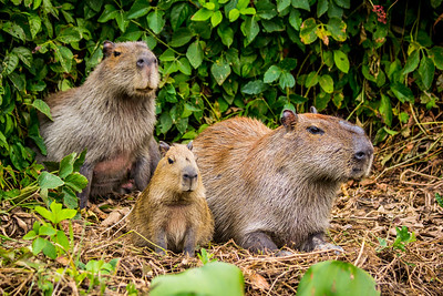 Capybara of the Pantanal, Brazil-15.jpg