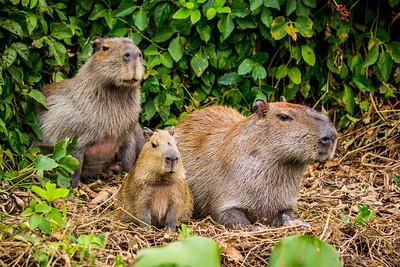 Capybara of the Pantanal, Brazil-15.jpg