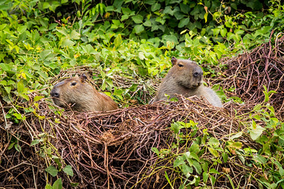 Capybara of the Pantanal, Brazil-35.jpg