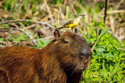 capybara (Hydrochoerus hydrochaeris) Pantanal, Poconé, Brazil. Cattle Tyrant (Machetornis rixosa) looking for insects to feed on.