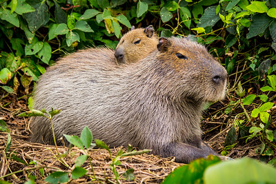 capybara (Hydrochoerus hydrochaeris) Pantanal, Poconé, Brazil. Female and baby.