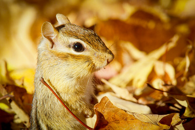 Eastern chipmunk (Tamias striatus) amongst maple leaf litter, Autumn, New England, USA