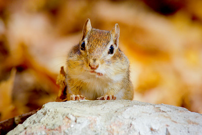 Eastern chipmunk (Tamias striatus) on a stone wall, Autumn, New England, USA