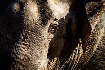 Sri Lankan Asian Elephants (Elephas maximus maximus) in the dry season, Sri Lanka, Yala National Park