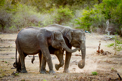 Elephants in the dry season, Sri Lanka, Yala National Park
