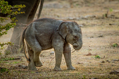 Elephants in the dry season, Sri Lanka, Yala National Park