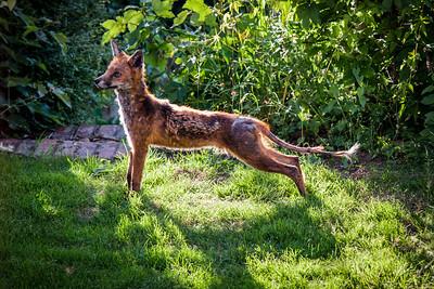 Mangey fox back lit