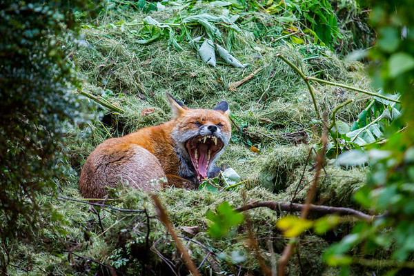 Monstrous Fox shows his fearsome side and why he's called 'Fangs!' - photo taken from our dinner table!