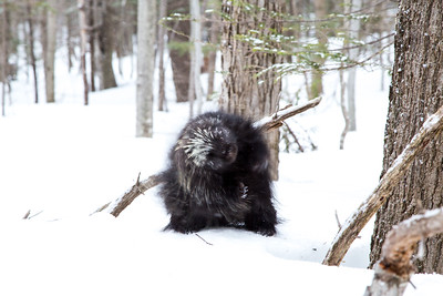 North American porcupine (Erethizon dorsatum), Vermont, USA. (Habituated rescued individual returned to the wild)