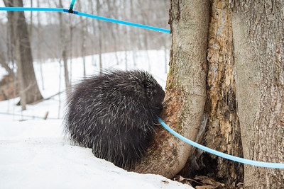 North American porcupine (Erethizon dorsatum) with a maple syrup tapping tube. These tubes are used to carry sap to large tanks. Porcupines have learned to bite the tubes so that they can drink the liquid. Vermont, USA. (Habituated rescued individual returned to the wild)