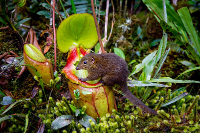 Mountain tree shrew (Tupaia montana) feeding on nectar secreted by the endemic Pitcher Plant (Nepenthes kinabaluensis) Montane forests (at 2200m-3000m), slopes of Mt Kinabalu. Kinabalu Park, Sabah, Borneo, Malaysia