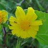 2017-04-21  Canyon Sunflower