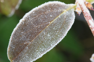 A Frosty Little Leaf
