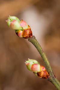 Native Blueberry Buds
