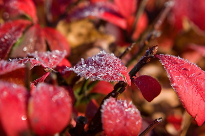 Frost on Burning Bush, Euonymus alatus