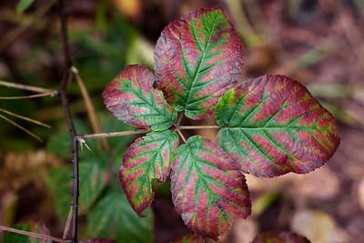 Autumn Raspberry Leaves