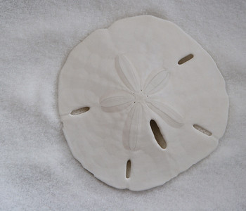 Sand Dollar                                                                              Skeleton of Echinarachnius Parma.