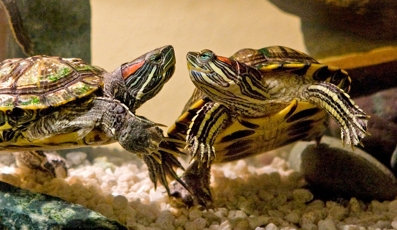 Turtle love - male on left, female on right.<br /> <br /> Red eared sliders