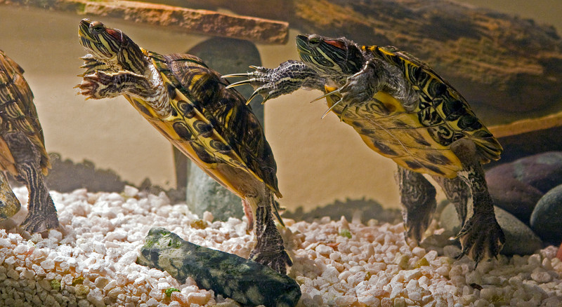 Turtle love - male on right, female on left.<br /> <br /> Red eared sliders