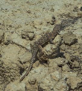 More Lizard Photos