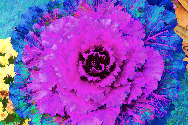 Flowering Cabbage