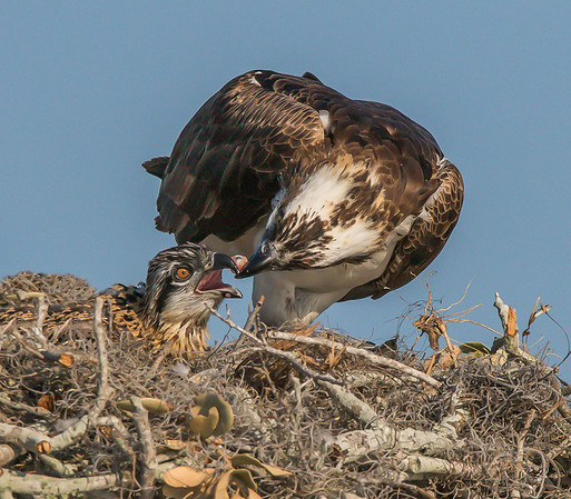 Ospreys and Babies