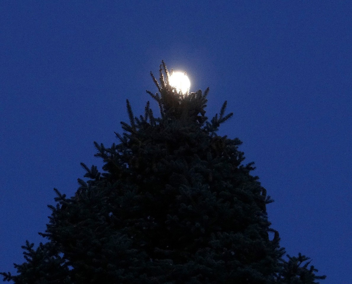 Full moon nesting in the top of our neighbor's spruce