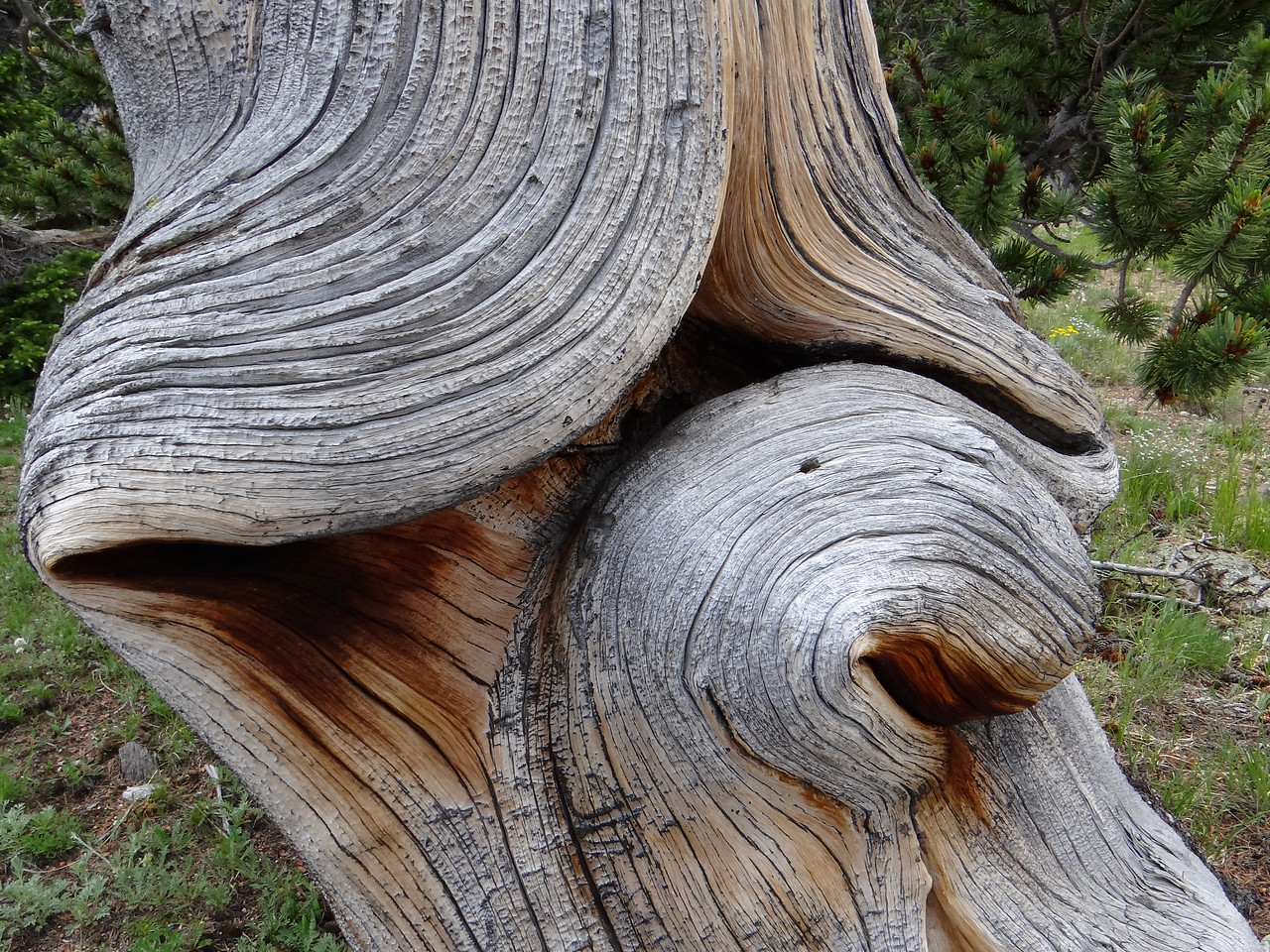The phantasmagoric shapes of ancient Bristlecone Pines