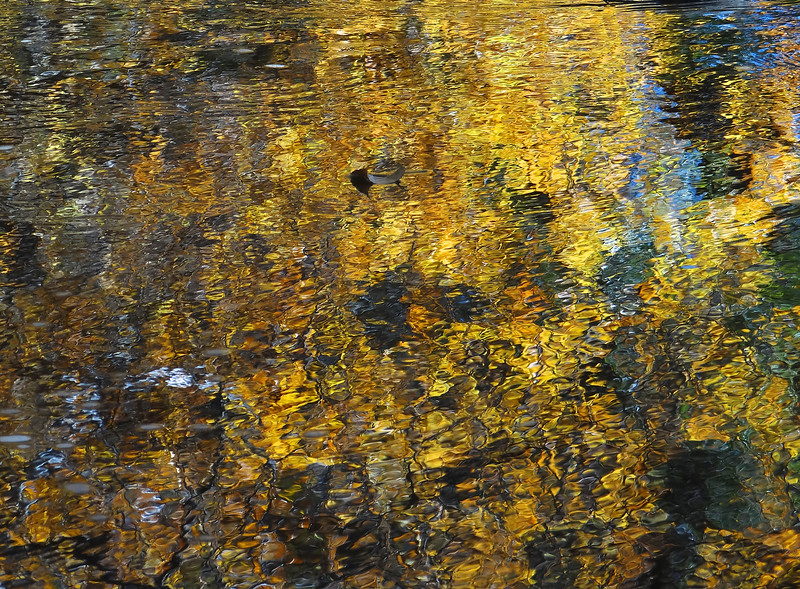 Cottonwood leaf on Bear Creek reflection