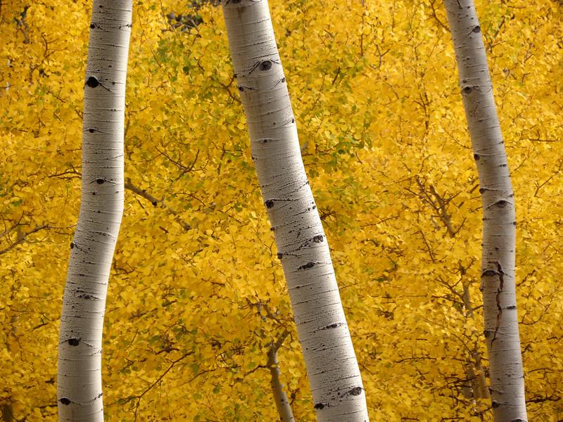 Aspen bark, aspen leaves