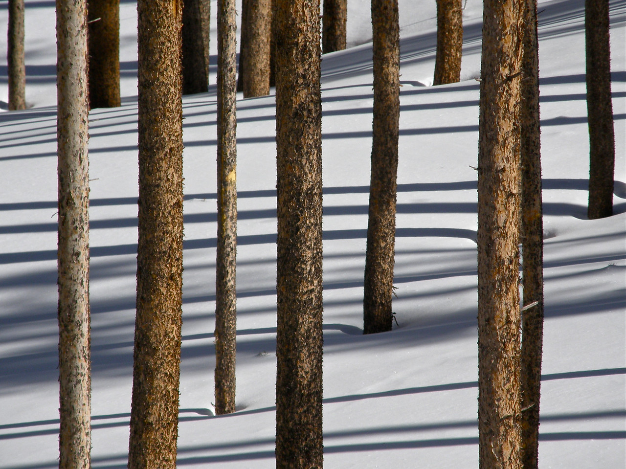 Lodgepole shadows