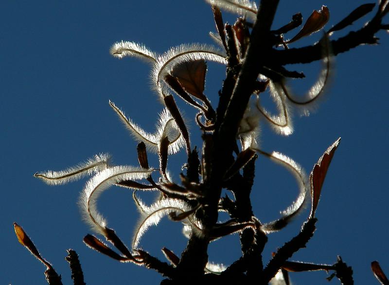 Mountain Mahogany seeds