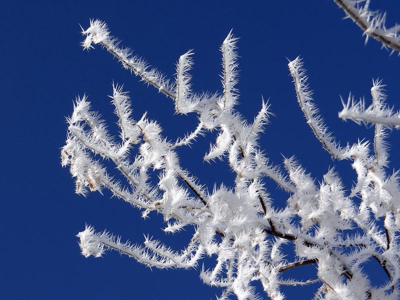 Hoar frost on a Russian Olive tree