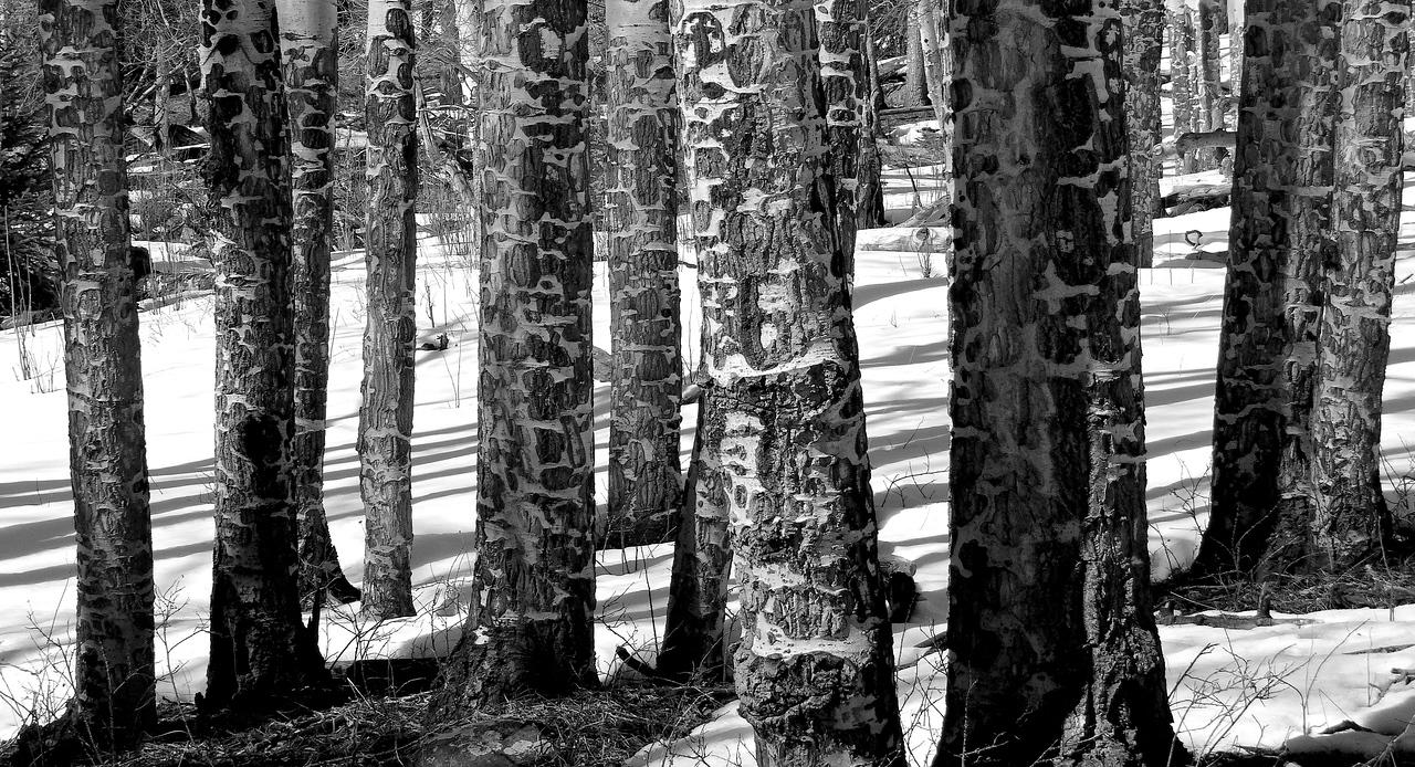 Elk-hewn aspen bark