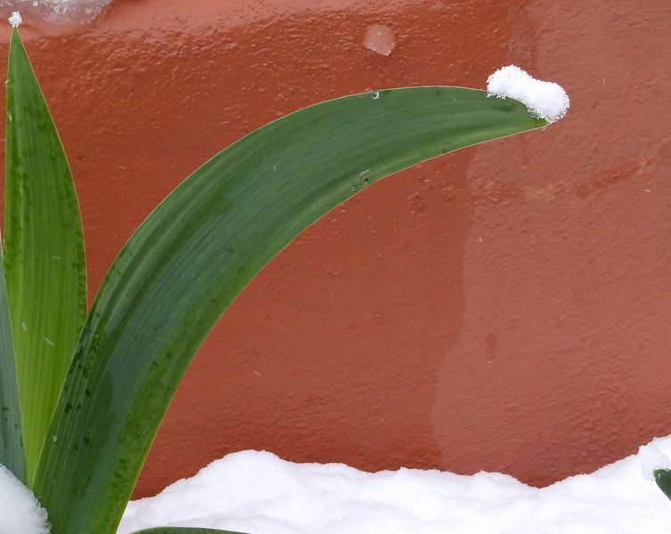Tulip leaves after a snow