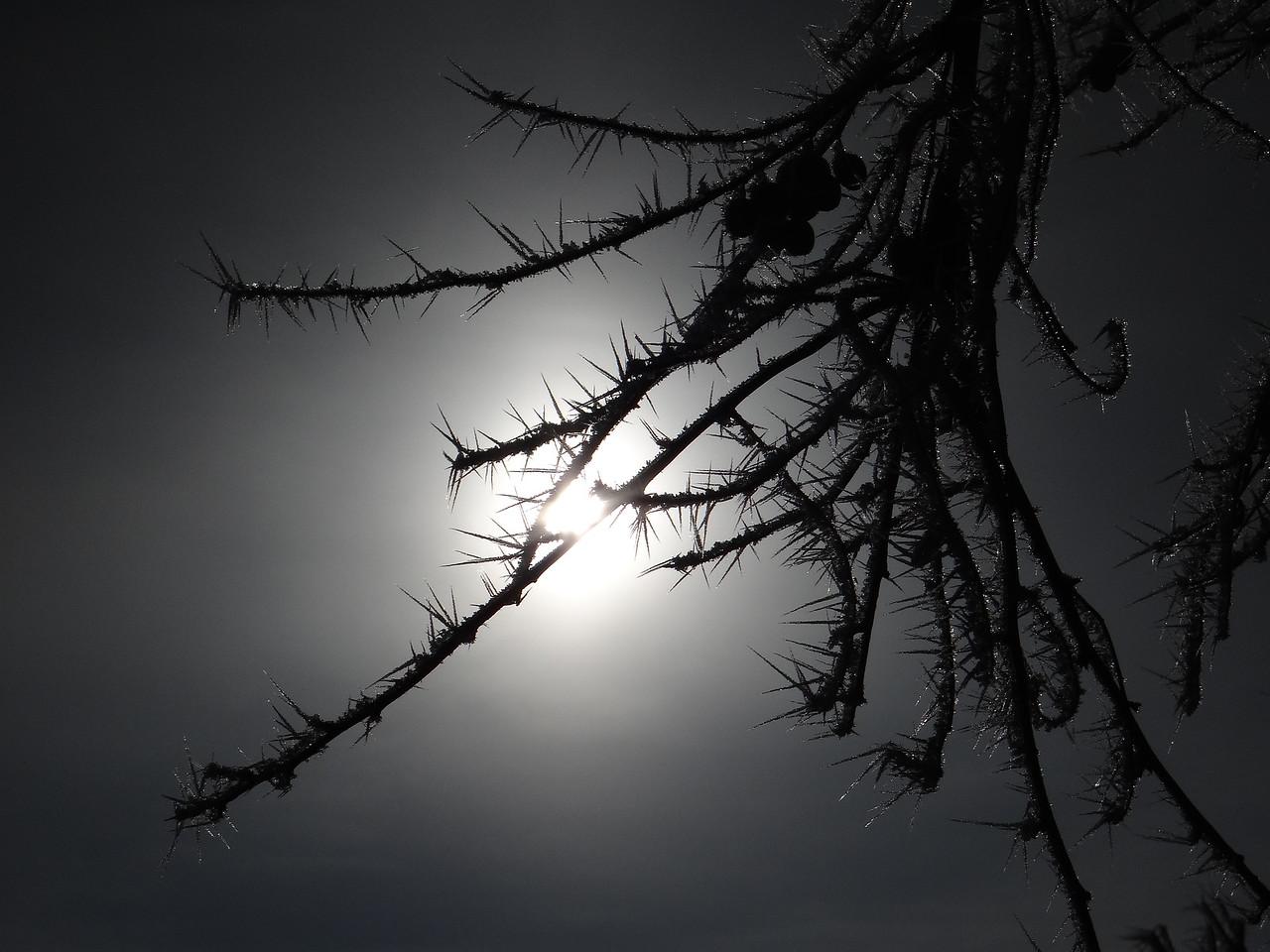Backlit hoar frost needles