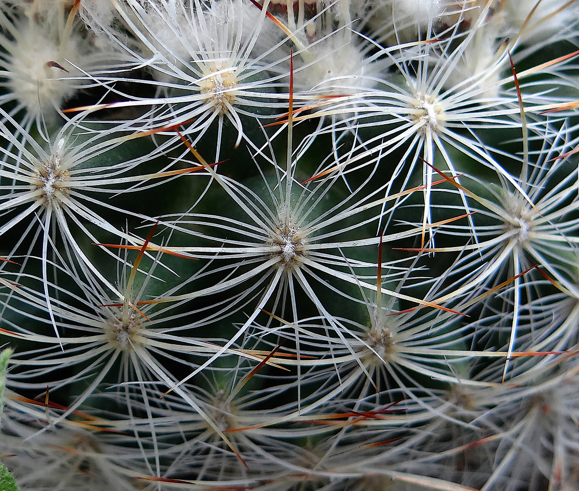 The overlapping spines of a mountain ball cactus make for a striking closeup
