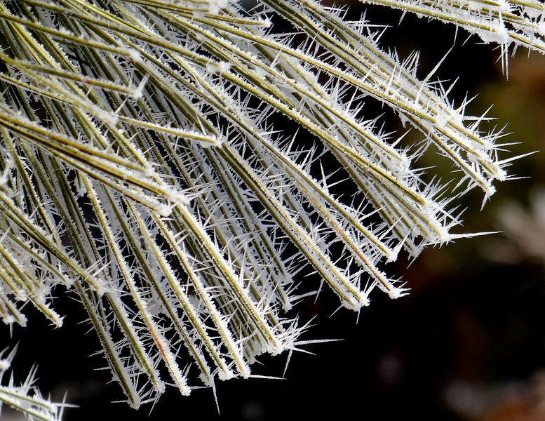 Hoar frost spikes on pine needles