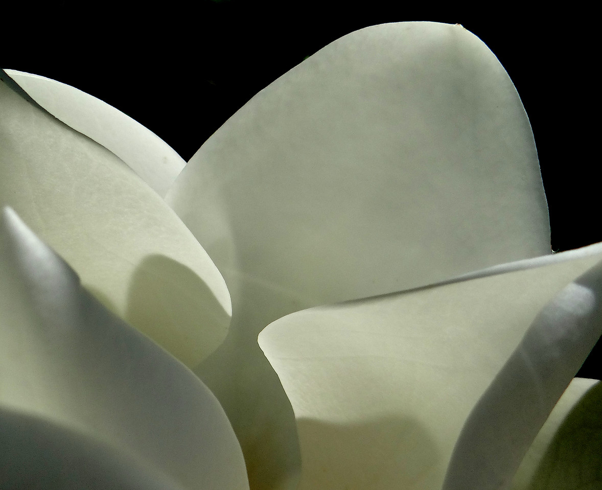 Lines and shadows in a magnolia blossom