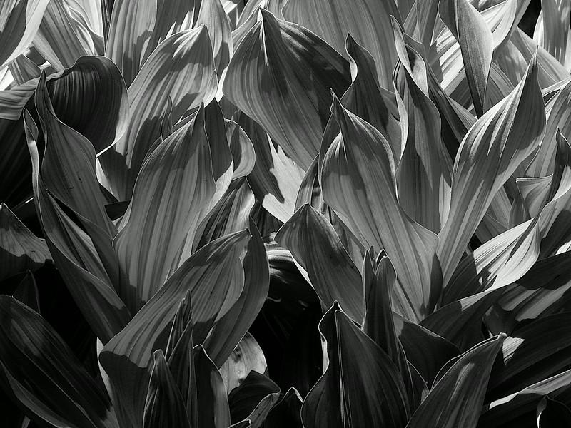 Corn Lily B&W