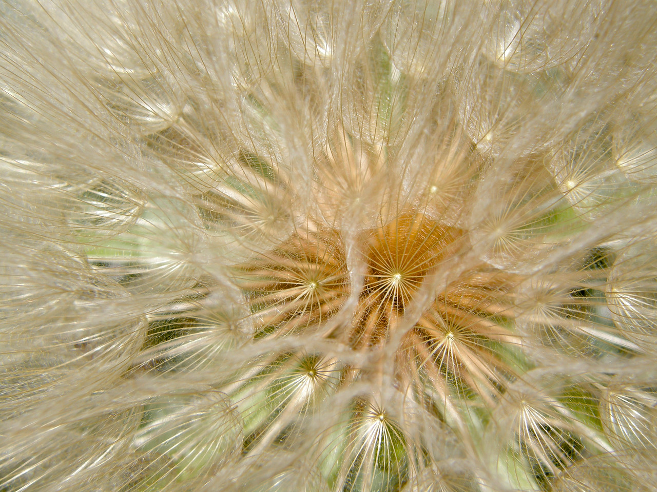The dandelion-like seeds of a Yellow Salsify