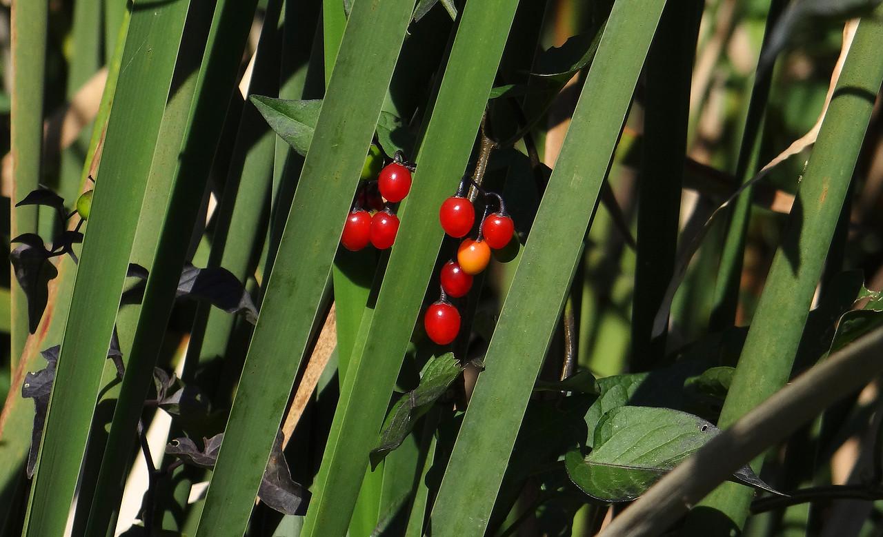 Nightshade berries peering from cattails