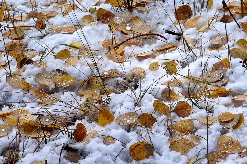 Melting snow drops on aspen leaves