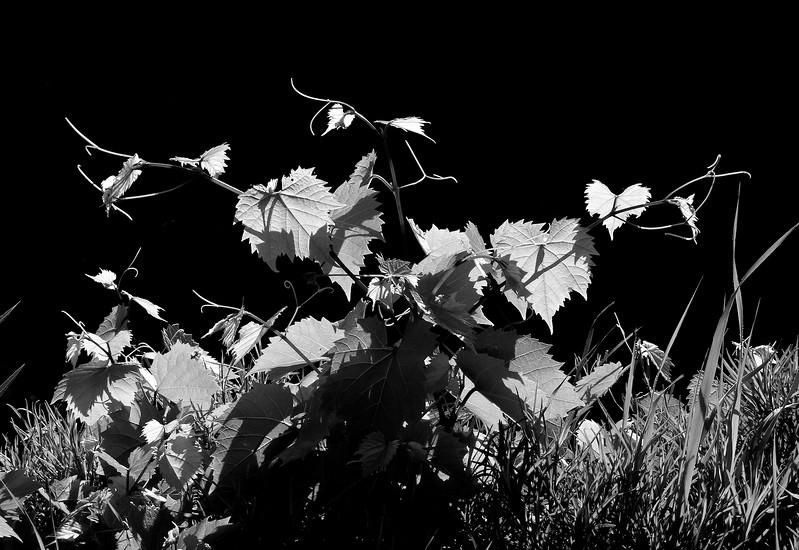 Fox grape leaves