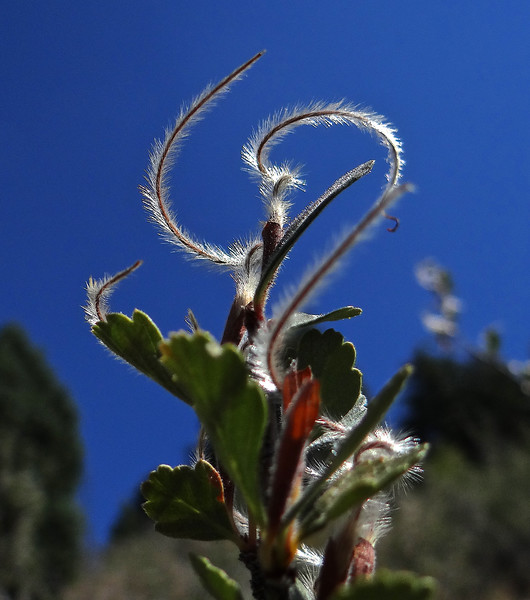 The graceful curves of Mountain Mahogany seeds