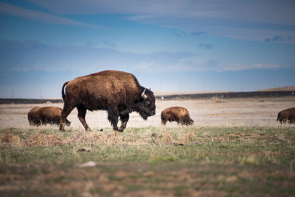 Bison at the Rocky Mountain Arsenal - 1