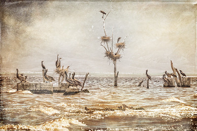 Nesting Pelicans in Salton Sea