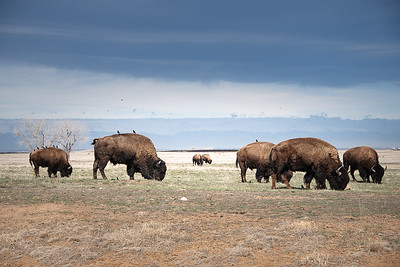 Bison at the Rocky Mountain Arsenal - 2