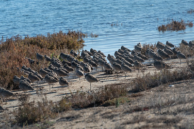 Long-billed Curlew-2  12-29-20 Bolsa Chica