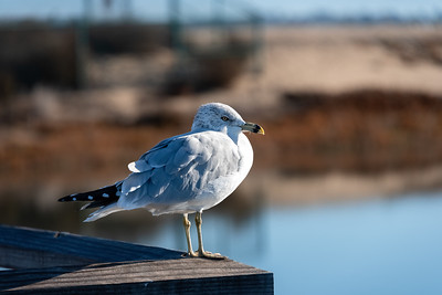 Ring-billed Gull-1  12-29-20 Bolsa Chica
